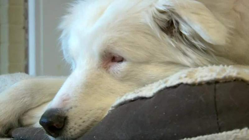Whether he's visiting children at school, or veterans at a retirement home, Willow's gentle...