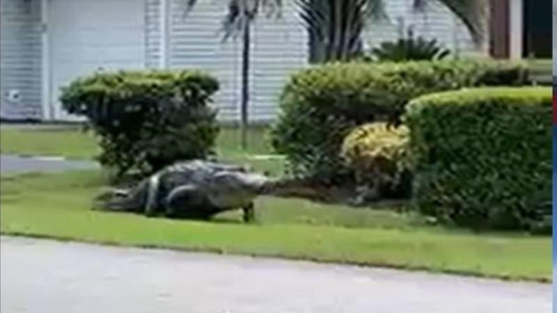 Massive gator takes stroll through S.C. beach neighborhood