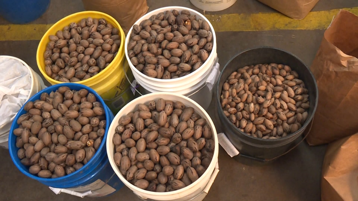 Governor Brian Kemp declared the pecan as Georgia's official state nut Friday.