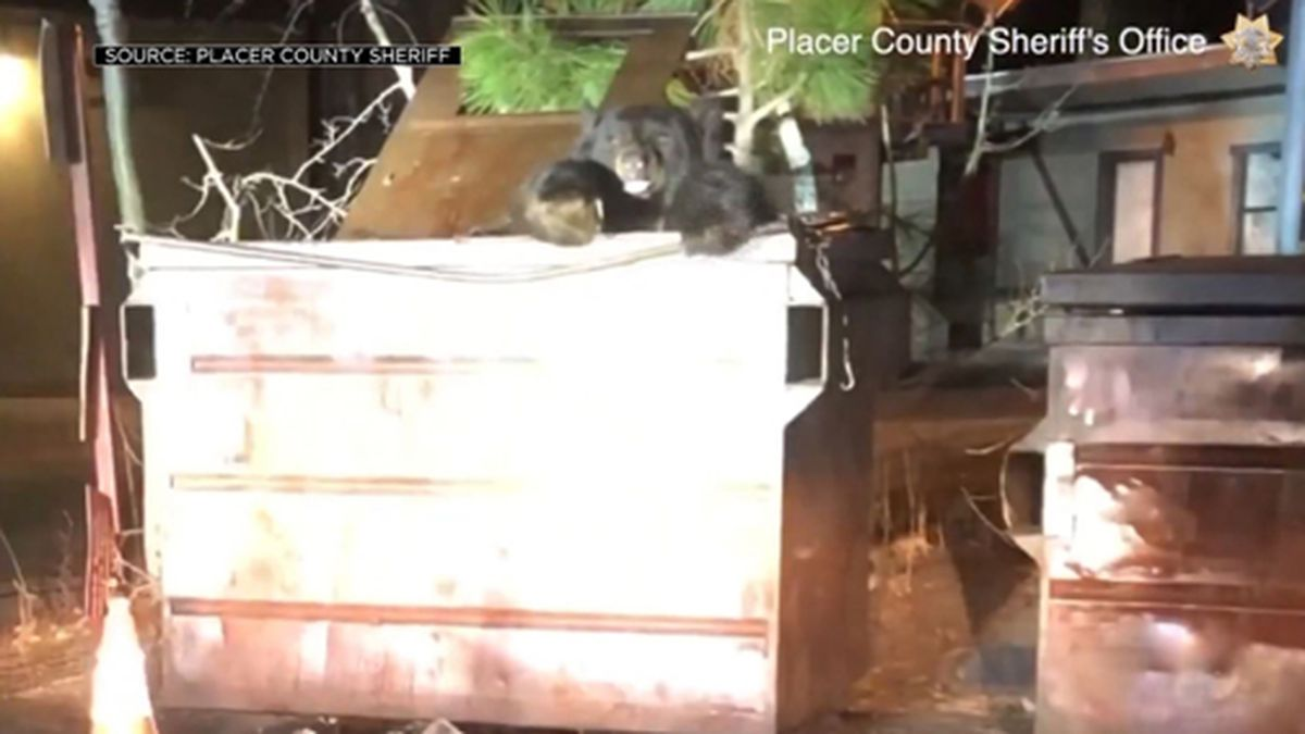 """A bear nicknamed """"T-Shirt"""" had to be helped out of a dumpster in California. (Source: KOVR/Placer County Sheriff's Office/CNN)"""