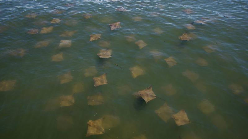 A large group of rays showed up at the South Carolina Department of Natural Resources marine...