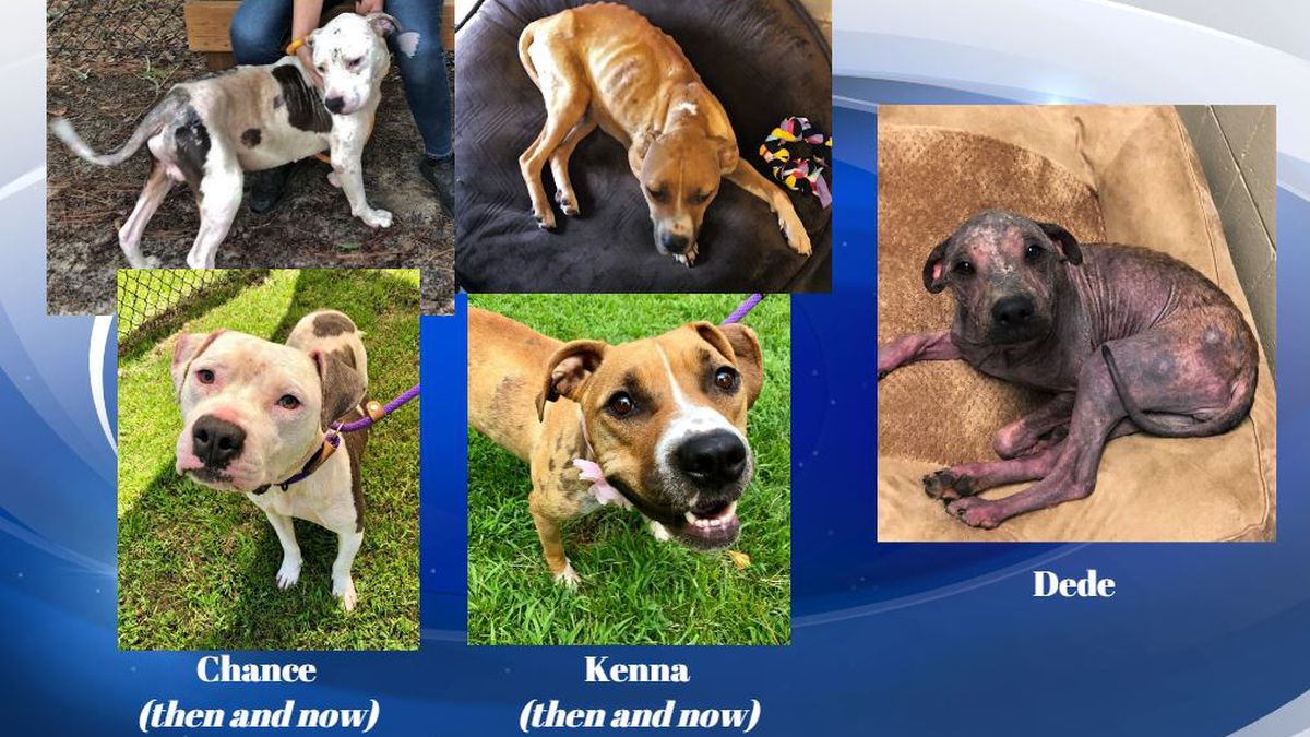 (L to R) Chance, Kenna, and Dede were all in horrible shape when they were dropped off at the Aiken County Animal Shelter. (Source: FOTAS Aiken)