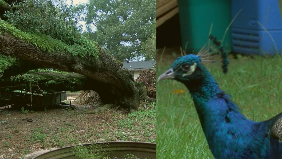 Hurricane Sally made a mess for several families in Georgia -- including one with a pet peacock.