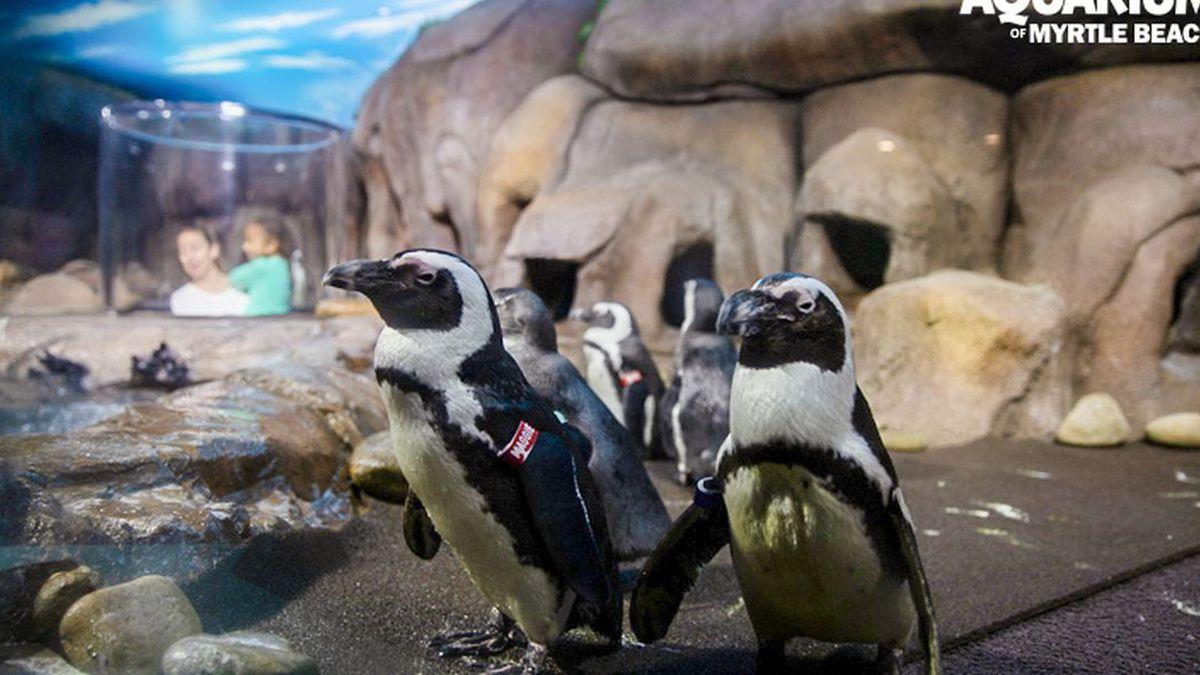 The Penguins Playhouse at Ripley's Aquarium of Myrtle Beach. (Source: Ripley's Aquarium)