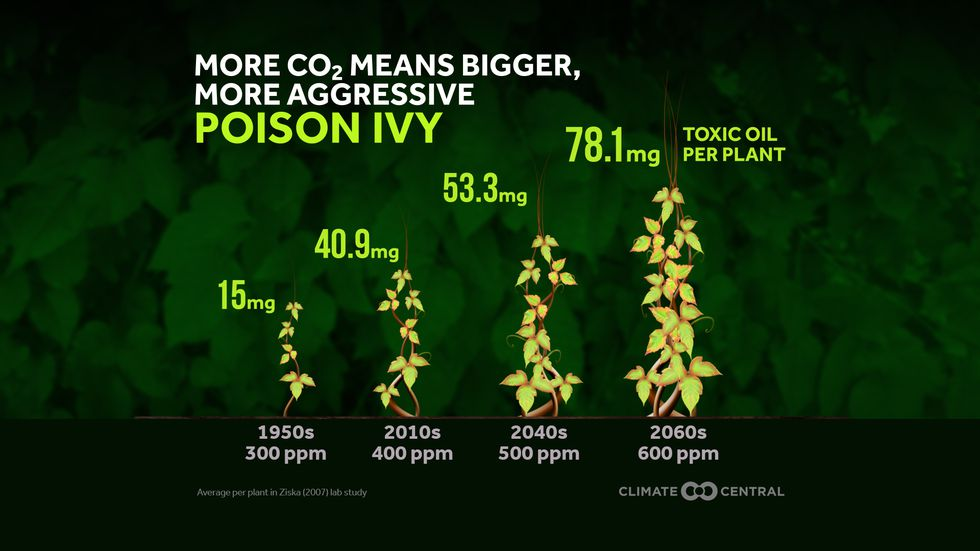 Poison Ivy has become more potent as a result of increases in CO2 levels since the 1950s.