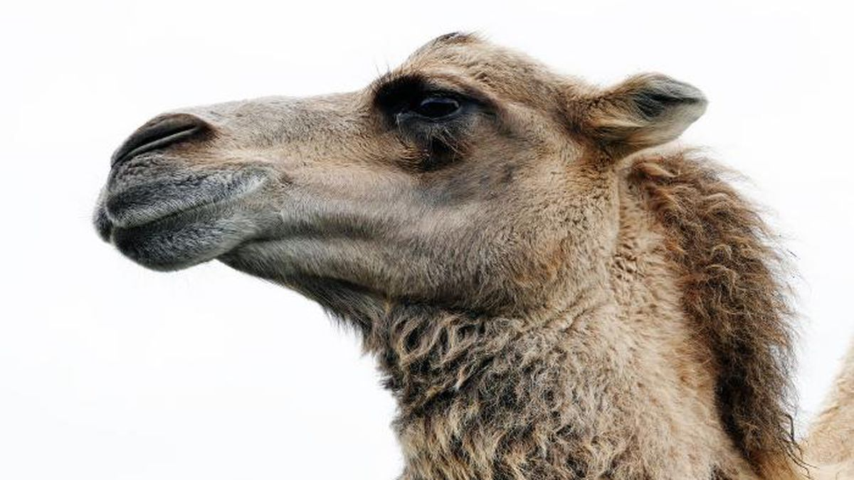 Caspar the camel has been living in the enclosure at the I-10 truck stop in Grosse Tete since last summer. (Source: Pexels)