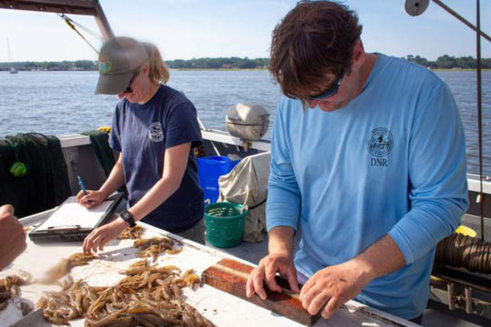 SCDNR officials set the opening date for shrimp season each year based on the conditions of the...