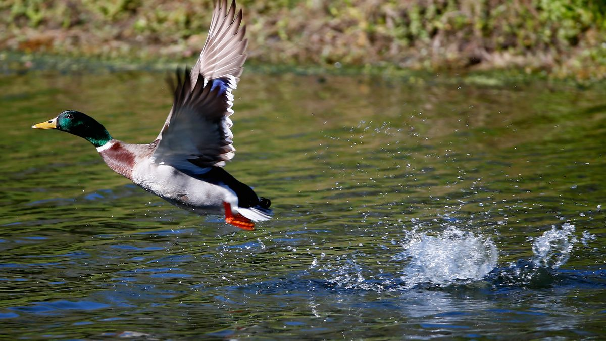 PALM HARBOR, FL - MARCH 13: A mallard as seen on the 16th hole during the first round of the...