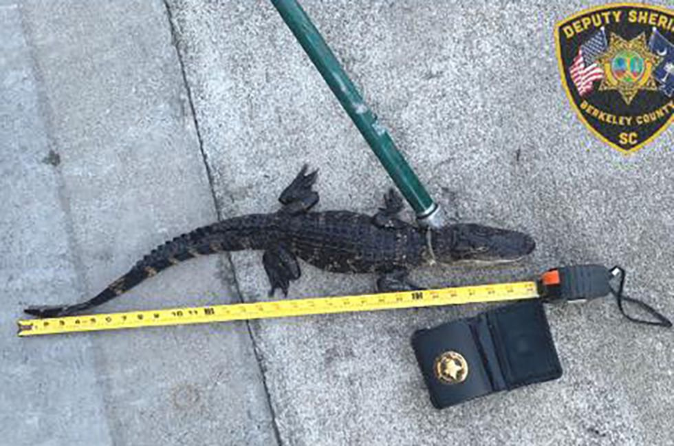 Deputies reported finding a baby alligator inside of a book bag inside of the suspect's vehicle.