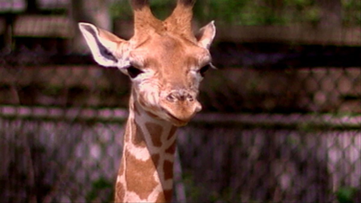 Giraffe Zoo Animal (Co-op KWTX)