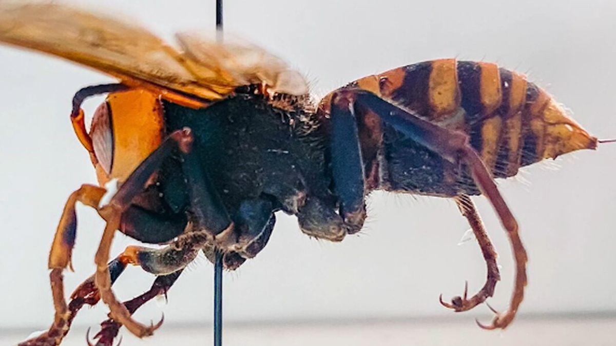 """A """"murder hornet"""""""