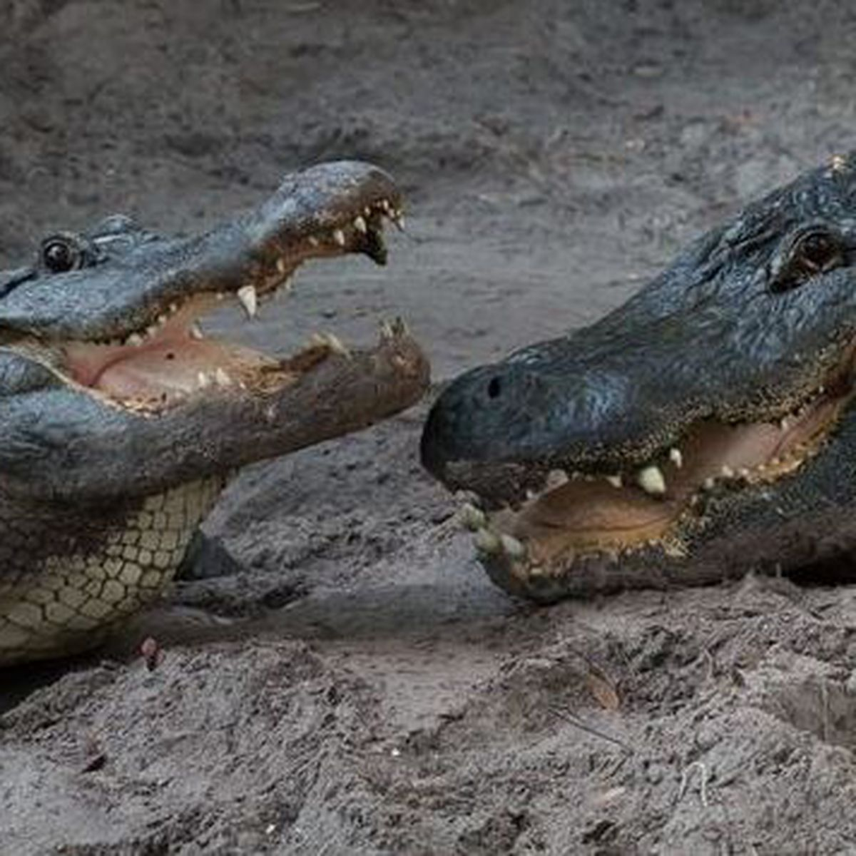 Watch Florida Man Jumps Into Crocodile Pit Gets Bit Claims He Was Held Captive
